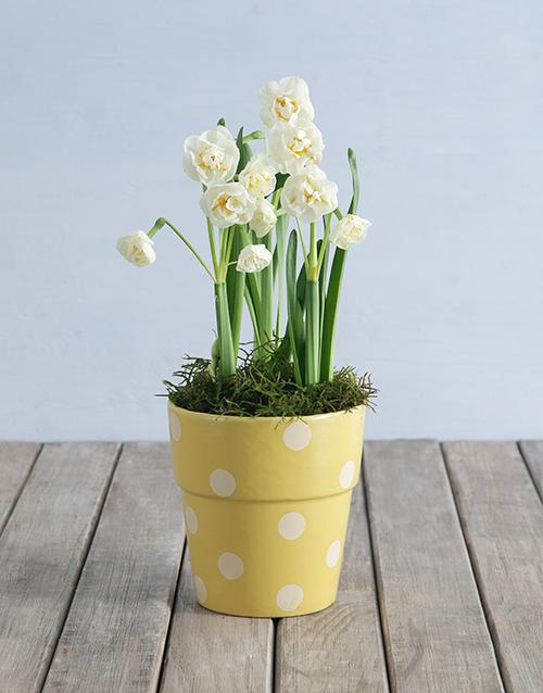colour: Popcorn Daffodil Plant in Polka Dot Pot!