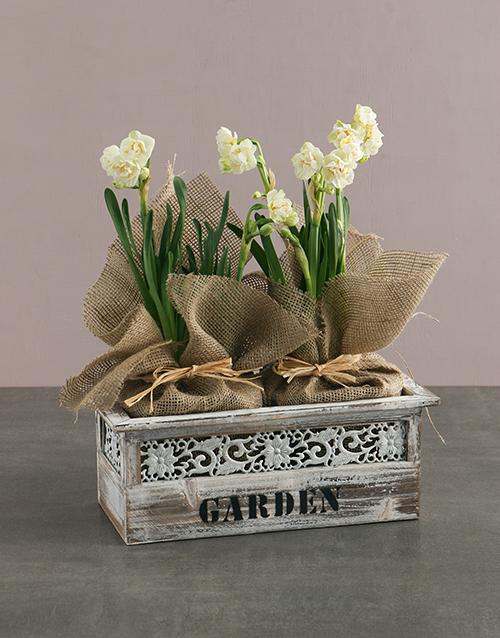 colour: Popcorn Daffodil Plant in Wooden Planter!