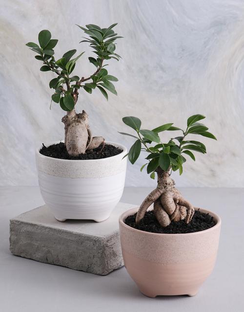bonsai: Ficus Bonsai in a Smooth Ceramic Pot!