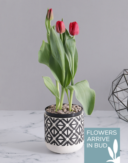 colour: Red Tulip in Tribal Pot!