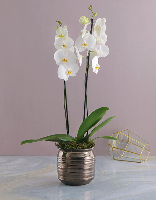 bosses-day: Elegant White Potted Orchid!