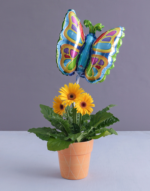 colour: Butterfly Gerbera Plant!
