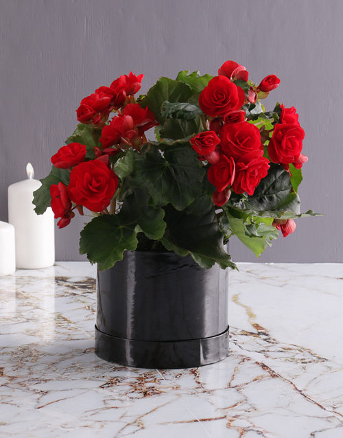 love-and-romance: Always Wins Red Begonia!