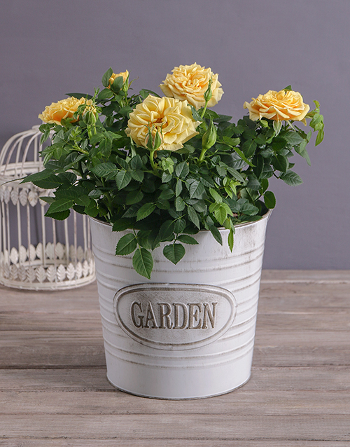 grandparents-day: Cheerful Yellow Rose Bush!