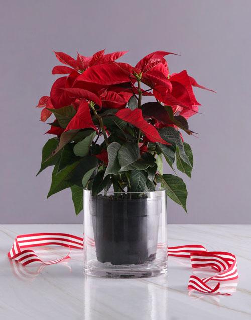 christmas: Personalised XOXO Poinsettia!