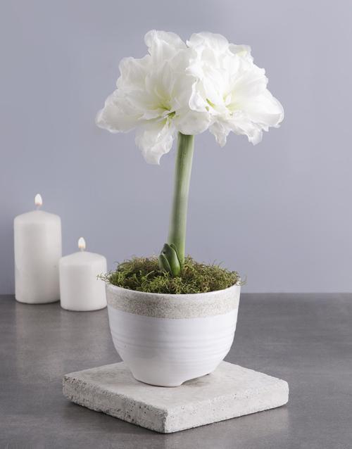 flowering: Elegant Amaryllis Plant!