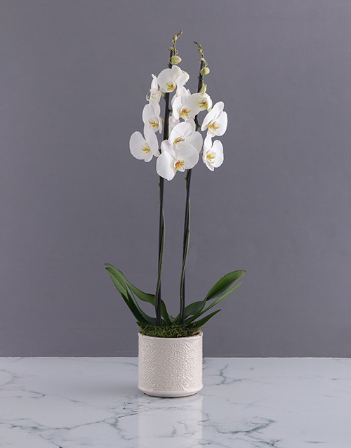 christmas: Two Stemmed Creamy Orchid!