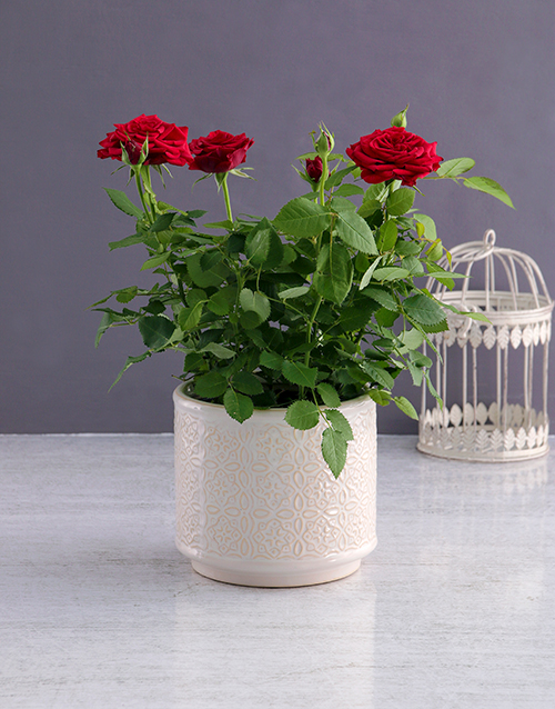 colour: Sweet Rose Bush Variety!