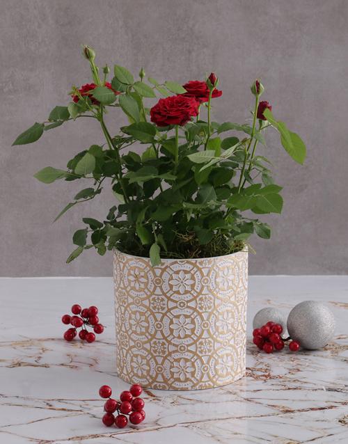 christmas: Red Rose Bush In Embossed Golden Planter!