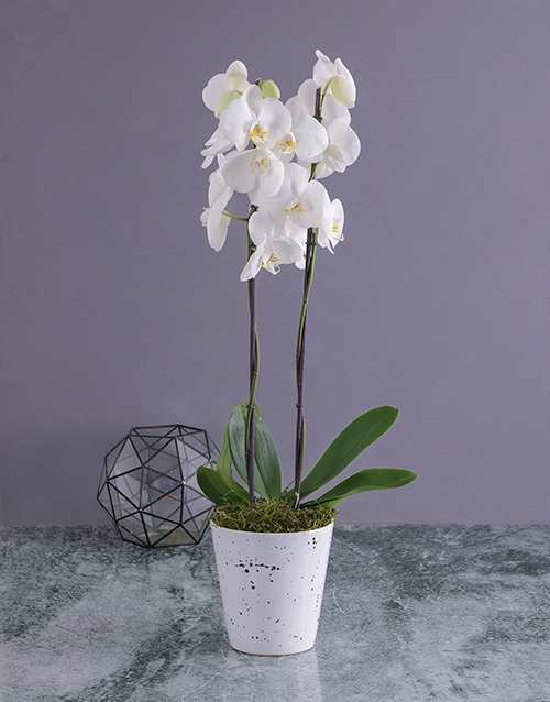 friendship: Modern Phalaenopsis Orchid in Splash Pot!