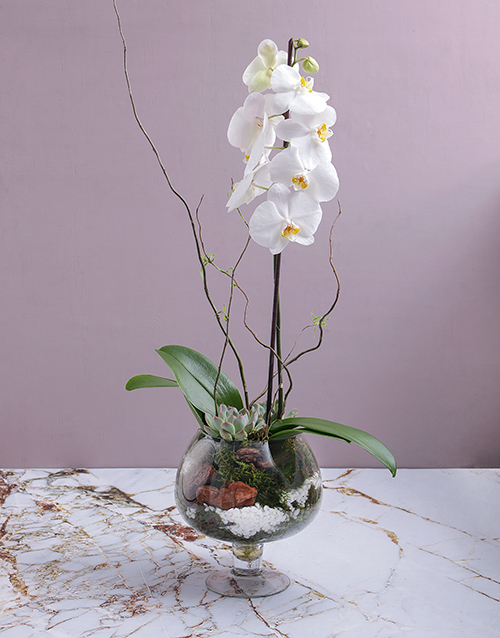 flowering: Orchid and Succulent in Footed Glass Vase!
