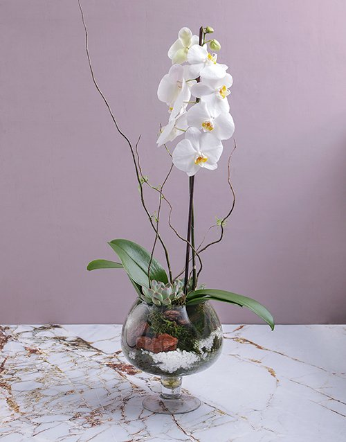 colour: Orchid and Succulent in Footed Glass Vase!
