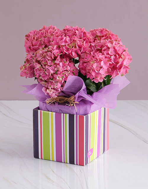 in-a-box: Pink Hydrangea in Gift Box!