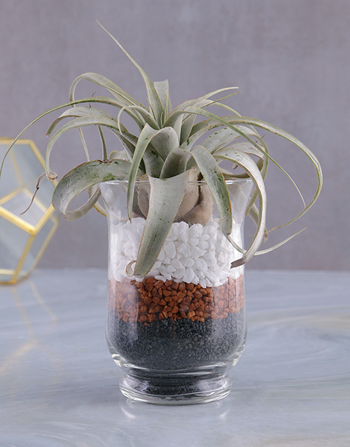fathers-day: Xerografica Air Plant in Hurricane Vase!