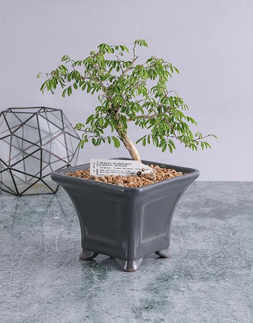 birthday: Acacia Erubescens Bonsai in Ceramic Pot!