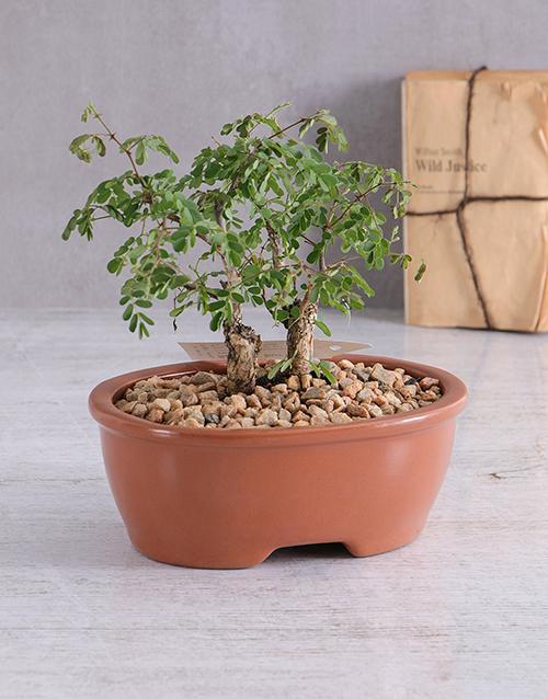 plants: Acacia Burkei Bonsai in Brown Ceramic Pot!