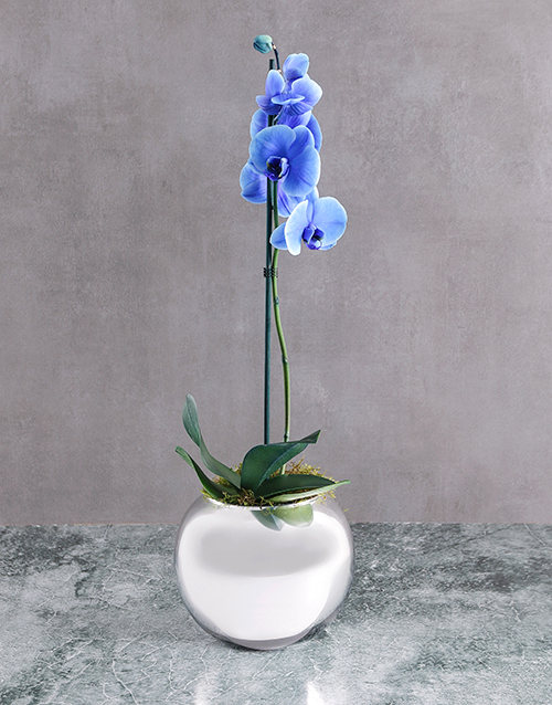 baby: Rare Blue Phalaenopsis Orchid In Round Silver Vase!