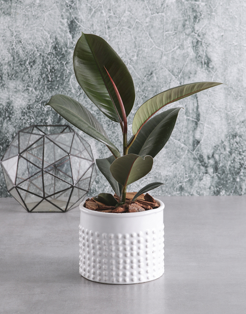 get-well: Ficus Robusta in White Bubble Pot!
