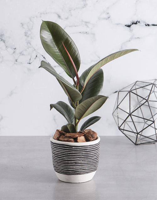 fathers-day: Ficus Robusta in Stripe Black Pot!