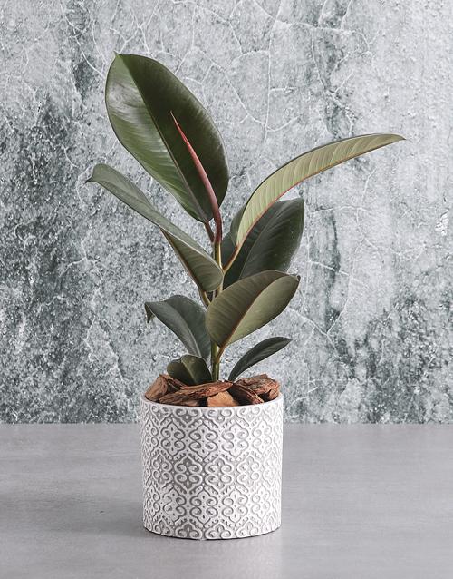sympathy: Luscious Ficus Robusta in Ceramic Pot!