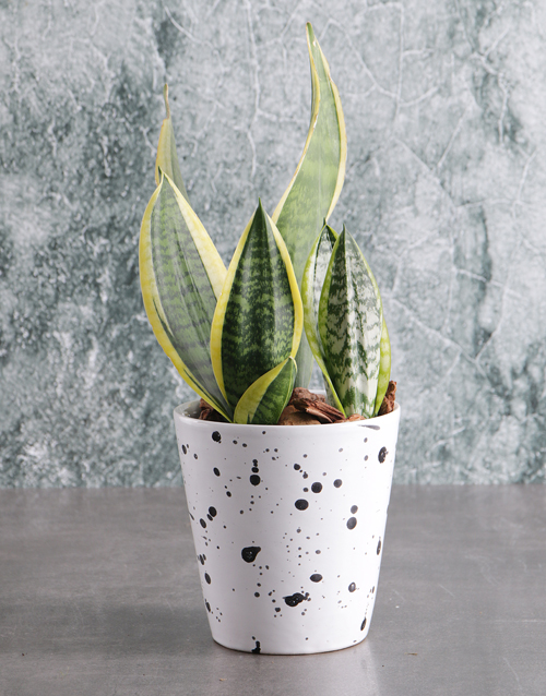 love-and-romance: Sanseveria in Speckled Pot!