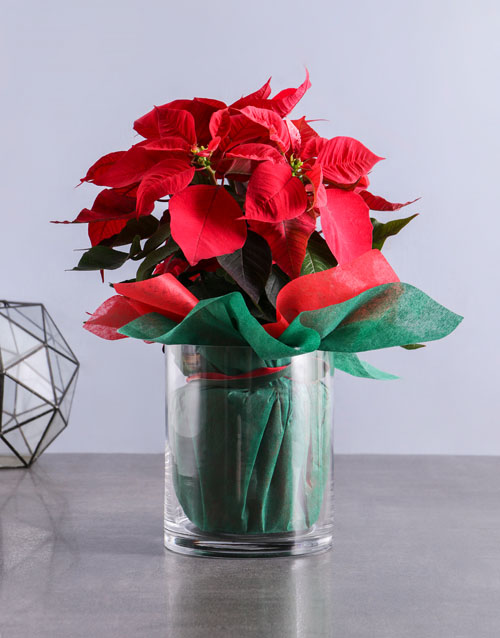 christmas: Perfect Poinsettia in Glass Vase!