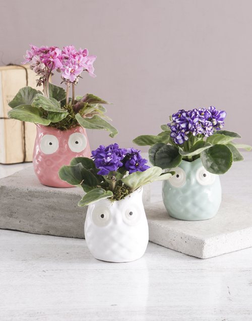 plants: African Violet in Owl Pot!