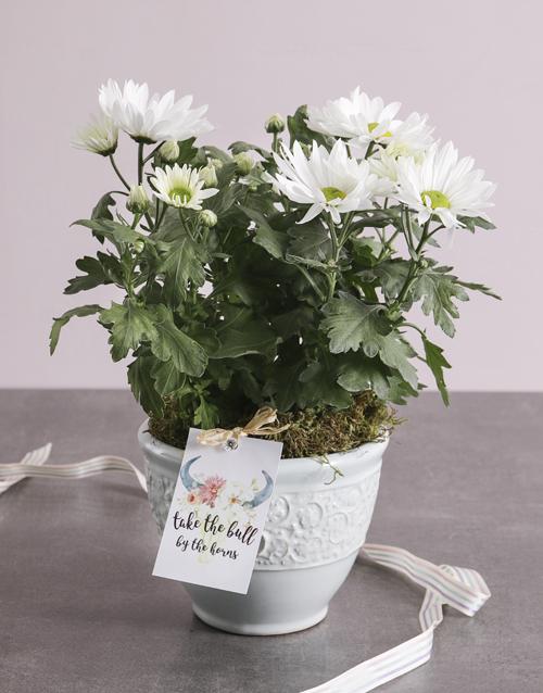 colour: Special Chrysanthemum Blossoms!
