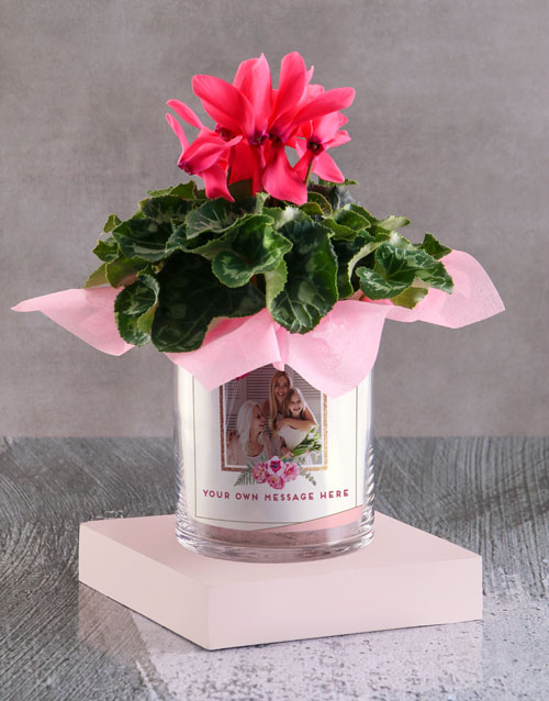 christmas: Cerise Cyclamen In A Photo Vase!