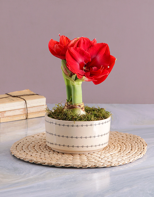 colour: Love Pot Amaryllis!
