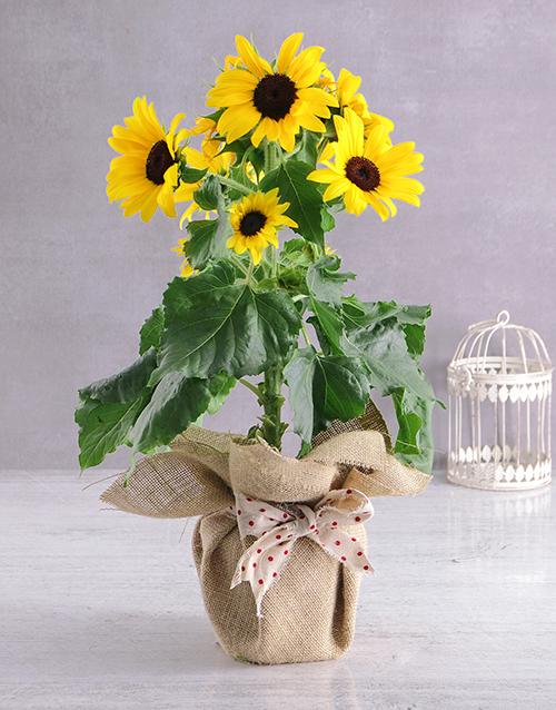 apology: Rustic Sunflower Pot!