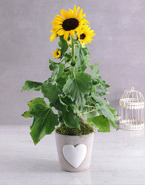 love-and-romance: Classic Sunflower Pot!