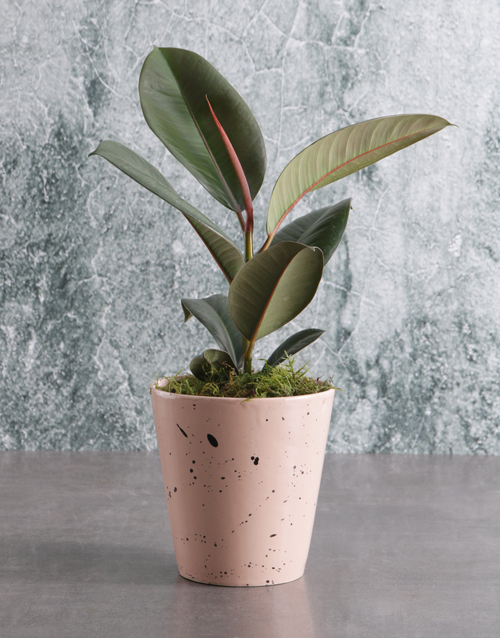 bosses-day: Ficus Robusta in Pink Speckled Pot!