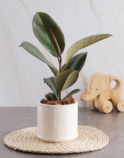 grandparents-day: Ficus Robusta in Glazed Cream Pot!