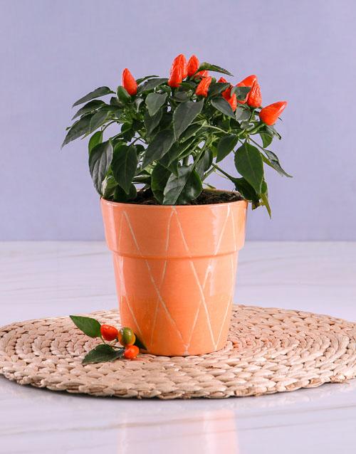 bosses-day: Orange Chilli Plant in Peach Ceramic Pot!