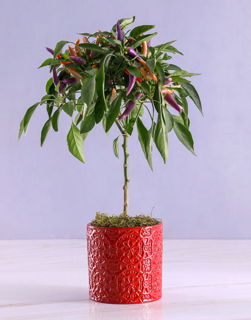 bosses-day: Potted Chilli Plant in Embossed Red Pot!