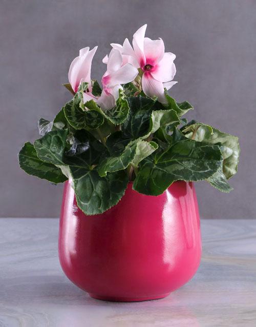 flowers: Cerise Cyclamen in Purple Pot!