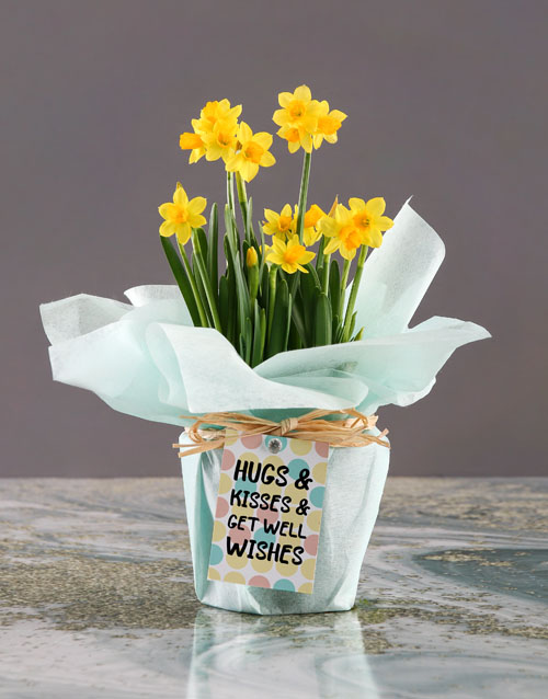 spring-day: Get Well Wishes Daffodil Plant!