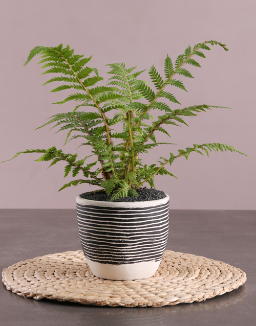 teachers-day: Fern Plant in Striped Pot!