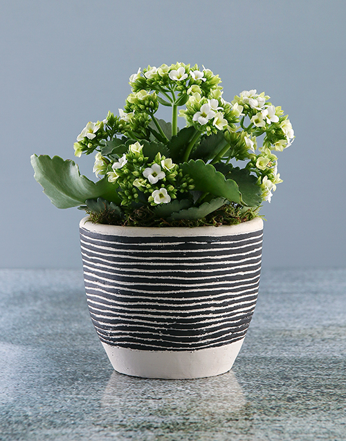 birthday: White Kalanchoe in Stripe Pot!