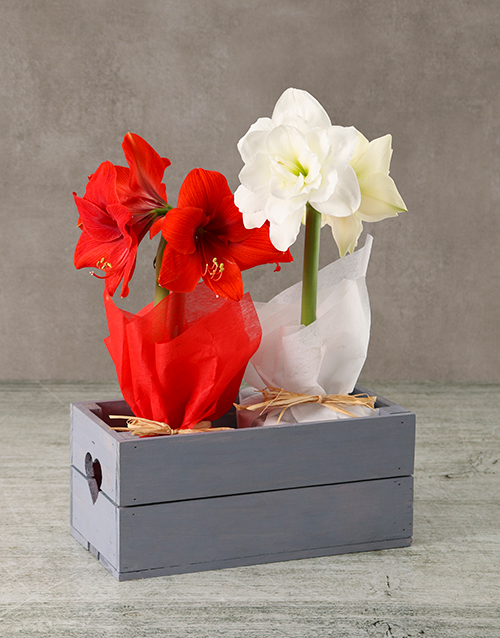 amaryllis: Mixed Amaryllis in Wooden Heart Crate!