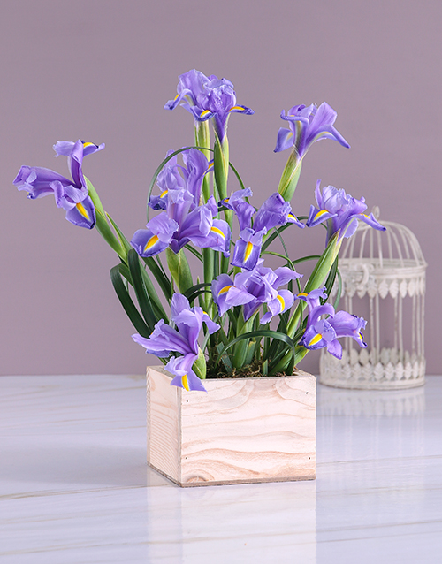 colour: Box of Blue Irises!