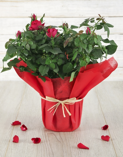 valentines-day: Red Romance Rose Bush!