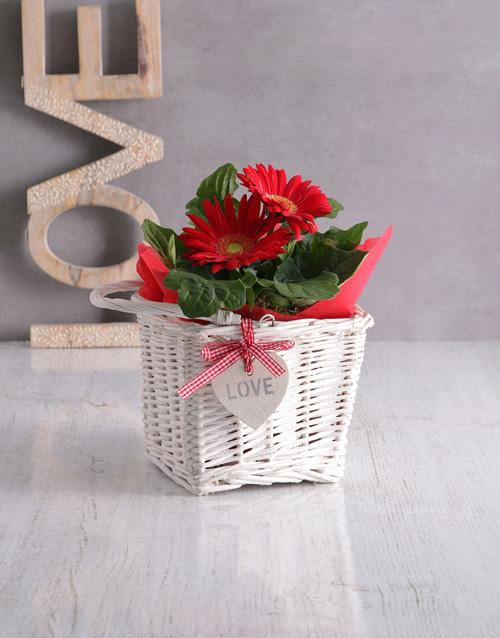 flowering: Love Gerbera in Basket!