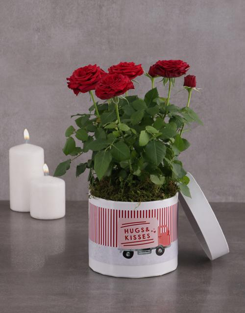 flowering: Hugs And Kisses Red Rose Bush!