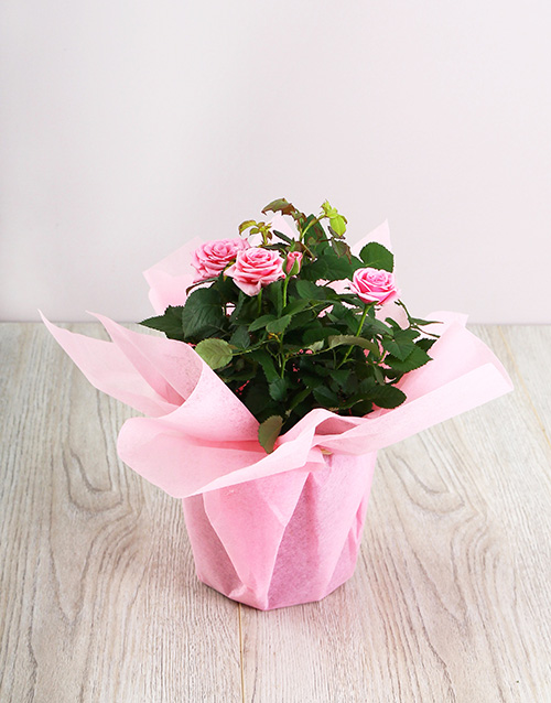 roses: 14cm Rose Bush in Wrapping!