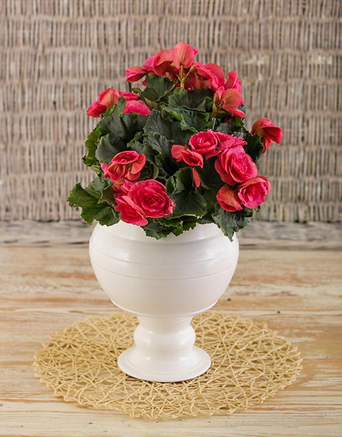 pottery: Begonia in glazed pot!
