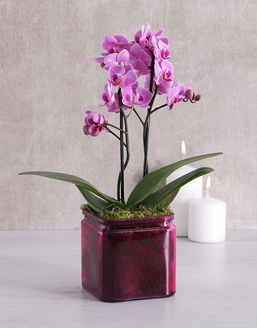 orchids: Mini Phalaenopsis Orchid in a Pink Vase!